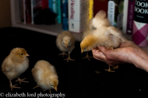 chicks with baby wings-5